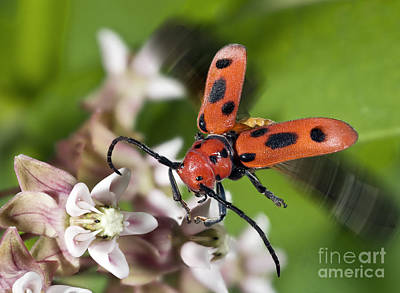 Photograph - Red Milkweed Beetle by Phil Degginger