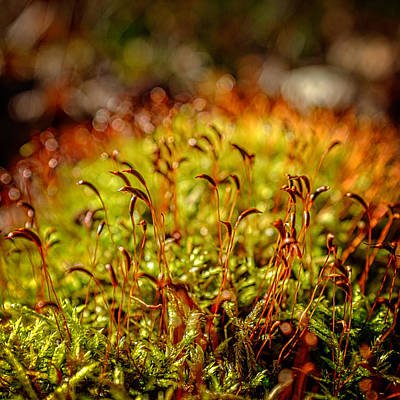 Photograph - Red Moss Capsules by Chris Bordeleau