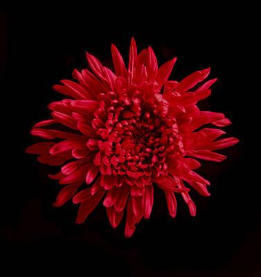 Photograph - Red Mum. by Chris  Kusik