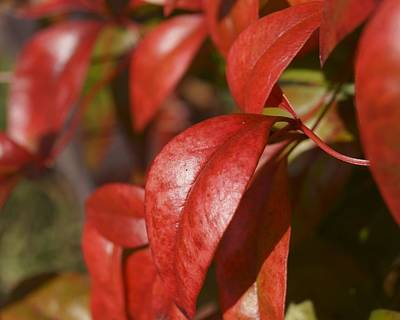 Photograph - Red Nandina Leaves by MM Anderson