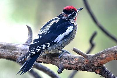 Photograph - Red-naped Sapsucker - Back Plumage by Marilyn Burton