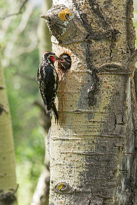 Sapsucker Wall Art - Photograph - Red-naped Sapsucker Feeding Young by Piperanne Worcester