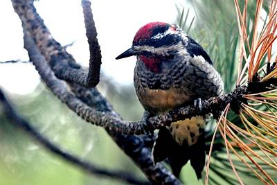 Photograph - Red-naped Sapsucker by Marilyn Burton