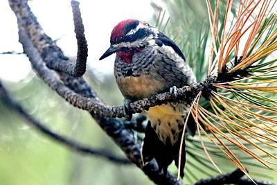 Photograph - Red-naped Sapsucker On Pine Tree by Marilyn Burton