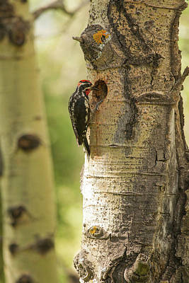 Sapsucker Wall Art - Photograph - Red-naped Sapsucker With Nest In Aspen by Piperanne Worcester