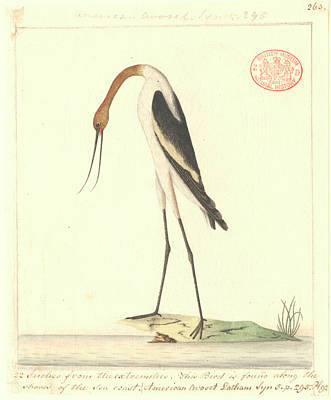 Painter Photograph - Red-necked Avocet by Natural History Museum, London