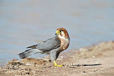 Red Falcon Photograph - Red-necked Falcon by Tony Camacho