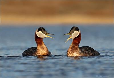Photograph - Red Necked Grebe Pair by Daniel Behm