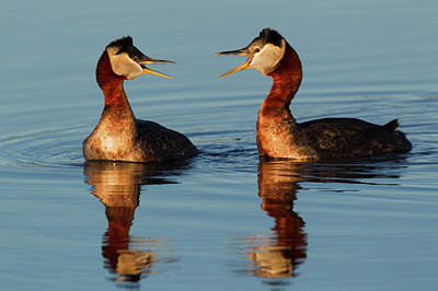 Red-necked Grebes Calling Art Print by Ken Archer