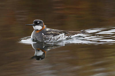 Red-necked Phalarope, Female Art Print by Ken Archer
