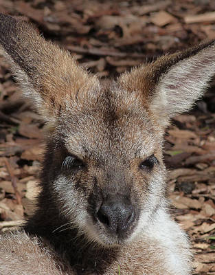 Photograph - Red-necked Wallaby Portrait by Margaret Saheed