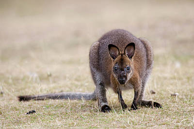 Marsupial Photograph - Red-necked Wallaby, Subspecies by Martin Zwick