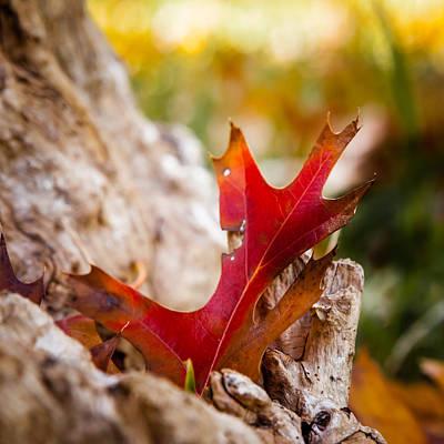 Photograph - Red Oak Leaf by Melinda Ledsome