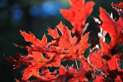 Photograph - Red Oak Leaves In Sunlight by Michael Saunders