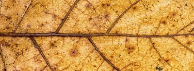 Photograph - Red Oak Midrib I by Christopher Burnett