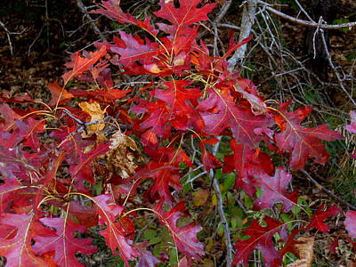 Photograph - Reduced Red Oak by Wild Thing