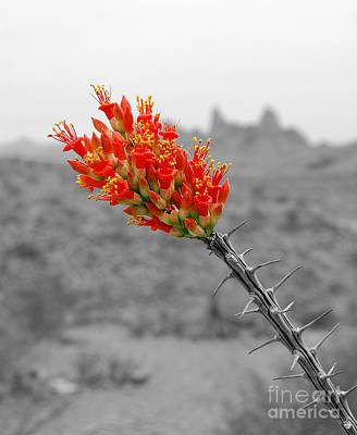 Photograph - Red Ocotillo Flower And Mule Ears Formation In Big Bend National Park Color Splash Black And White by Shawn O'Brien