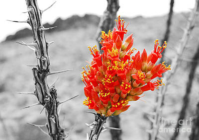 Photograph - Red Ocotillo Flower In Big Bend National Park Color Splash Black And White by Shawn O'Brien