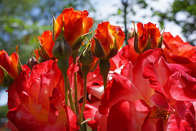 Photograph - Red Orange Roses Art Prints Floral Photography by Baslee Troutman