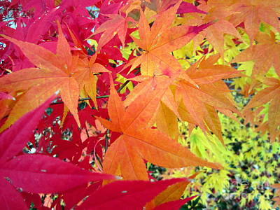 Photograph - Red Orange Yellow Japanese Maple Leaves by Cynthia  Clark