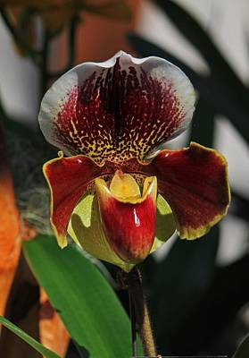 Photograph - Red Orchid by Michael Saunders