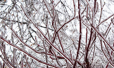 Photograph - Red Osea Dogwood Sporting Ice Coat by Barbara McMahon