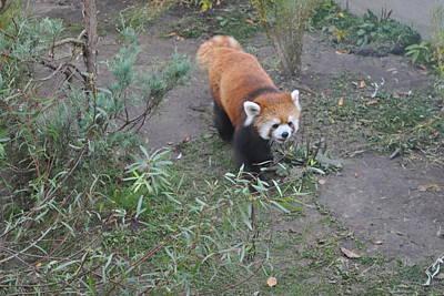 Photograph - Red Panda 2 by Jim Hogg