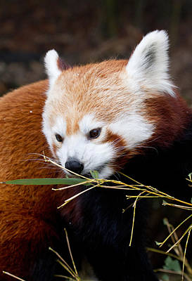 Red Panda  Ailurus Fulgens In Captivity Art Print