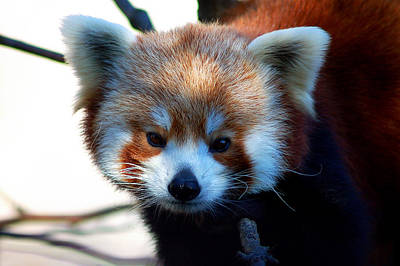 Photograph - Red Panda by Bill Swartwout Fine Art Photography