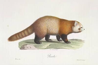 Red Panda Photograph - Red Panda by British Library
