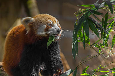 Herbivorous Photograph - Red Panda Cafeteria by Chris Fletcher