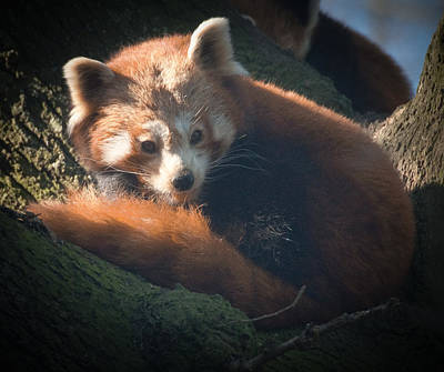 Photograph - Red Panda by Chris Boulton