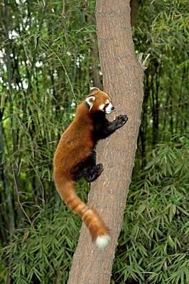 Red Panda Photograph - Red Panda Climbing A Tree by Tony Camacho