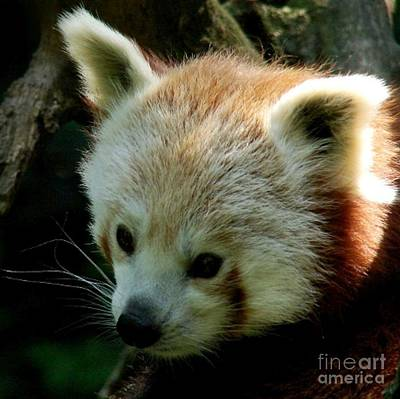 Photograph - Red Panda by Donna Cavanaugh