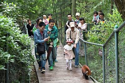 Red Panda Photograph - Red Panda Followed By Zoo Visitors by Tony Camacho