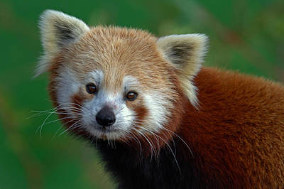 Photograph - Red Panda by Jerry Gammon
