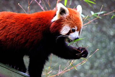 Red Panda Art Print by Martin Newman