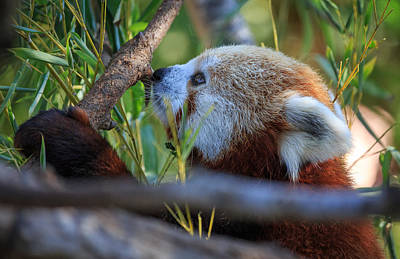 Photograph - Red Panda by Matthew Onheiber