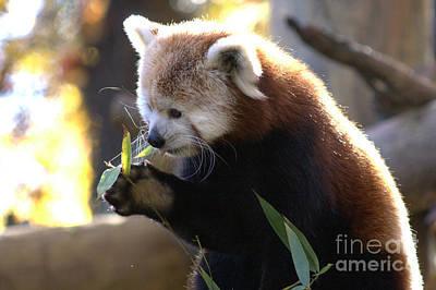 Photograph - Red Panda by Michael Creamer