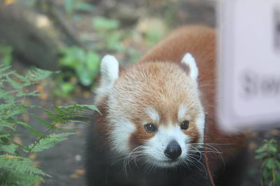 Red Panda - National Zoo - 01132 Print by DC Photographer