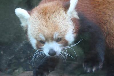 Panda Photograph - Red Panda - National Zoo - 01135 by DC Photographer