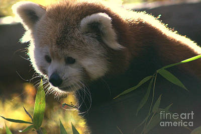 Photograph - Red Panda Part II by Michael Creamer