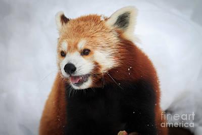Red Panda Art Print by Rebecca Brooks