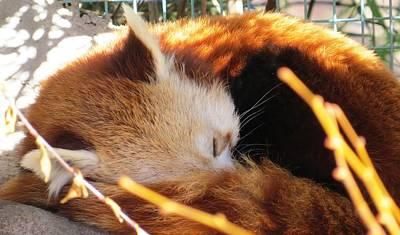 Photograph - Red Panda Sleeping by Nina Donner