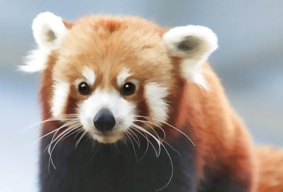 Digital Art - Red Panda Staring by Ray Shiu
