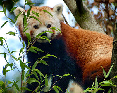 Photograph - Red Panda by Trever Miller