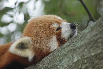 Red Panda Zen Art Print by Leigh Ann Hartsfield