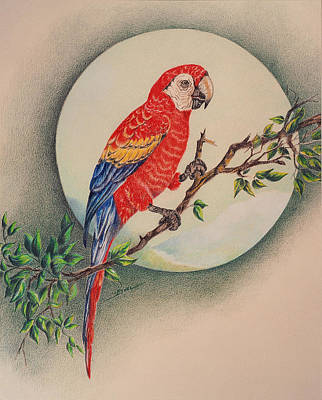 Art Print featuring the drawing Red Parrot by Ethel Quelland