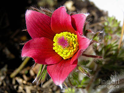 Red Pasque Flower - Closeup Print by Kerstin Ivarsson