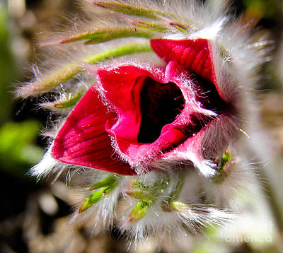 Red Pasque Flower In Sunlight - Closeup Print by Kerstin Ivarsson